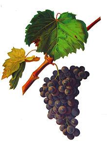 Graciano Grape