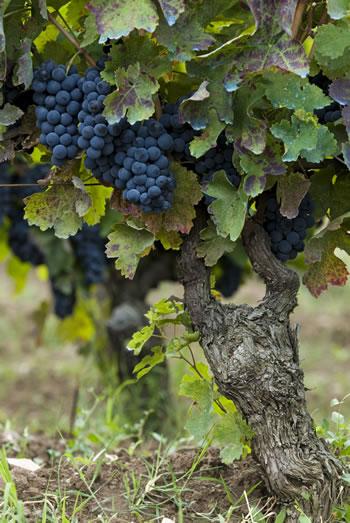 Titolo Vines